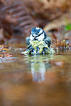 Blue tit (Cyanistes caeruleus) enjoying a bath in a shallow pool in north Wales UK. His reflection is visible.