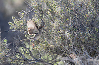 Brewer's Sparrow (Spizella breweri breweri), foraging at the Desert National Wildlife Refuge outside Las Vegas, Nevada.