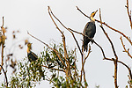 Reed Cormorants