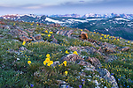 summer morning on Trail Ridge, with view to the Never Summer Mountains from Trail Ridge, wildflowers adorn the alpine tundra in Rocky Mountain National Park, Colorado, USA