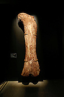 A bone from the The Titanosaur, the largest dinosaur ever displayed at the American Museum of Natural History, is revealed on it's first day open to the public   in New York. 15.01.2016. Kena Betancur/VIEWpress.