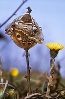 Kleines Nachtpfauenauge, Paarung, Kopula, Kopulation, Saturnia pavonia, Eudia pavonia, Pavonia pavonia, Small Emperor Moth, pairing, Le Petit paon de nuit, Saturniidae