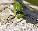 A Dragonfly seen in the Esopus Bend Nature Preserve, in Saugerties, NY, on Friday, September 1, 2017. Photo by Jim Peppler. Copyright/Jim Peppler-2017.