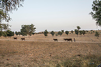 A guar farmer's child runs after a herd of cows at his farmhouse in Rajera village, Bikaner, Rajasthan, India on October 23, 2016. Non-profit organisation Technoserve works with farmers in Bikaner, providing technical support and training, causing increased yield from implementation of good agricultural practices as well as a switch to using better grains better suited to the given climate. Photograph by Suzanne Lee for Technoserve
