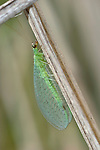 Borne On Gossamer Wings, Chrysoperla rufilabris, Green Lacewing,
