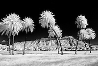 Eight palm trees in black and white in front of Diamond Head Crater.