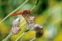 Streak-winged Red Skimmer, Washington