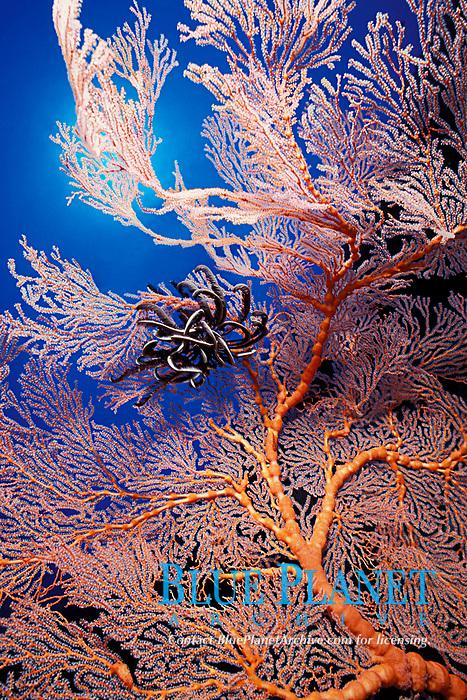 silver crinoid or feather star, Cenometra bella, on sea fan (gorgonian octocoral), Palau (Belau), Micronesia, Western Caroline Islands (Western Pacific Ocean)