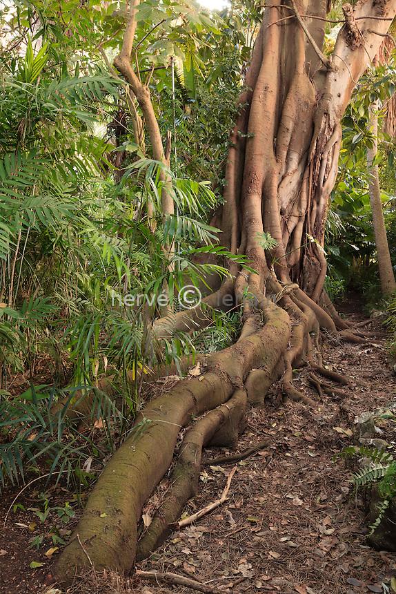France, Alpes-Maritimes (06), Saint-Jean-Cap-Ferrat, le jardin botanique des C&egrave;dres:<br /> dans la &quot;jungle&quot;, gros tronc aux racines &eacute;tendues de Ficus macrophylla ou figuier de la baie de Moreton, il fait parti des figuiers &eacute;trangleur si il germe sur un arbre h&ocirc;te.
