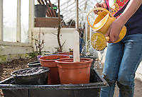 A six year old girl working in a greenhouse watering seeds, Chipping, Lancashire.