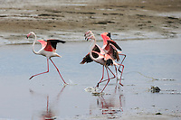 Greater flamingos move gracefully and synchronised through the shallows.