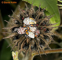 "1111-0805  Group of Scentless Plant Bug Nymphs of Various Instars on Velvetleaf Plant, Niesthrea louisianica ""Lifecycle"" © David Kuhn/Dwight Kuhn Photography."