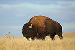 Bull Bision Crossing Prairie
