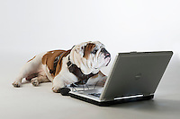 Champ Bully - studio white background - with laptop.<br />