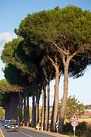 Umbrella pine trees at Sovicille near Siena in Tuscany, Italy