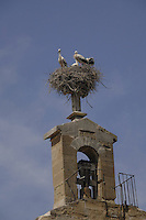 Storks nesting, in the belfry above church in Lleida, Cataluna, Spain.