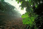 Sunrise in vineyard near St. Helena