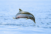 pantropical spotted dolphin calf leaping, Stenella attenuata, note - cookie cutter shark wound, Isistius brasiliensis, Big Island, Hawaii, Pacific Ocean
