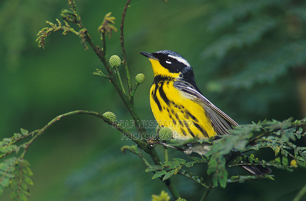 Magnolia Warbler, Dendroica magnolia, male, South Padre Island, Texas, USA, May 2005