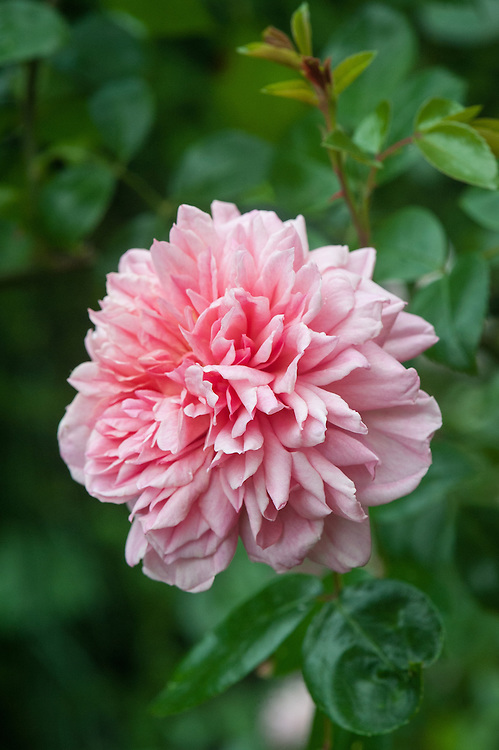 Rosa 'Paul Noël', late June. A 19th-century rambling rose with repeat-flowering, salmon pink flowers.