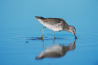 Short-billed Dowitcher,  Limnodromus griseus,adult eating winter plumage, Corpus Christi, Texas, USA, December 2001