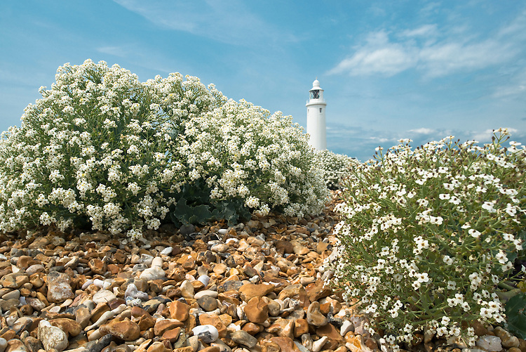Sea Kale (Crambe maritima) in flower on Hurst Spit, Hampshire
