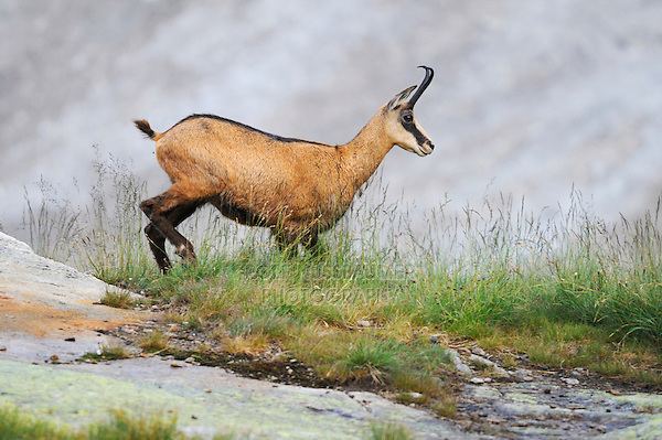 Chamois (Rupicapra rupicapra), adult walking, Grimsel, Bern, Switzerland, Europe
