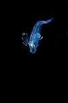 Dusky Flounder, Syacium papillosum larva, Black Water diving over Gulfstream Current; Plankton; SE Florida Atlantic Ocean; larval fish; pelagic larval marine life; plankton creatures; vertical migration marine creatures, id Benjamin Victor