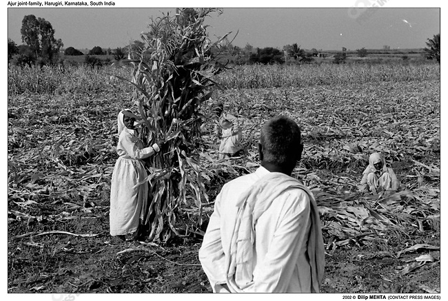 The women, who have slipped into their working clothes,stack the  corn crop and remove the corn from the stalk. Brother no. 5  who is in charge of Agriculture overseas the process but seldom works himself.