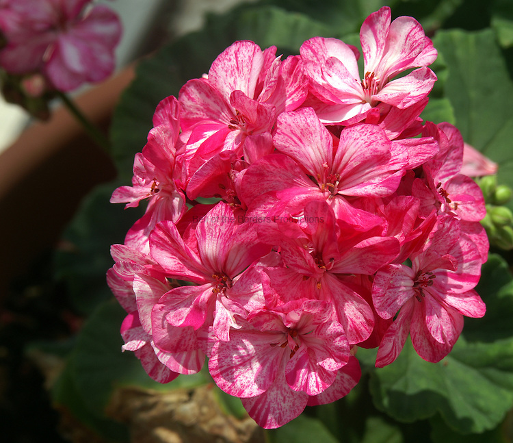 My mother-in-law found this wonderful geranium and has had it for several years.  The stripes of pink on the petals is amazing.