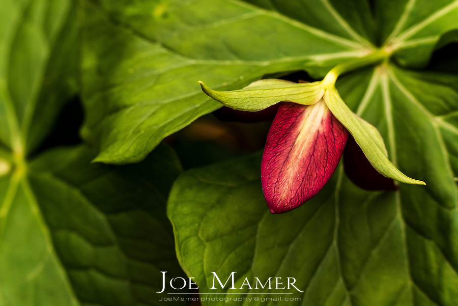 Red trillium, Trillium erectum flower bud and green foliage at Theodore Wirth Park, Eloise Butler Wildflower Garden.