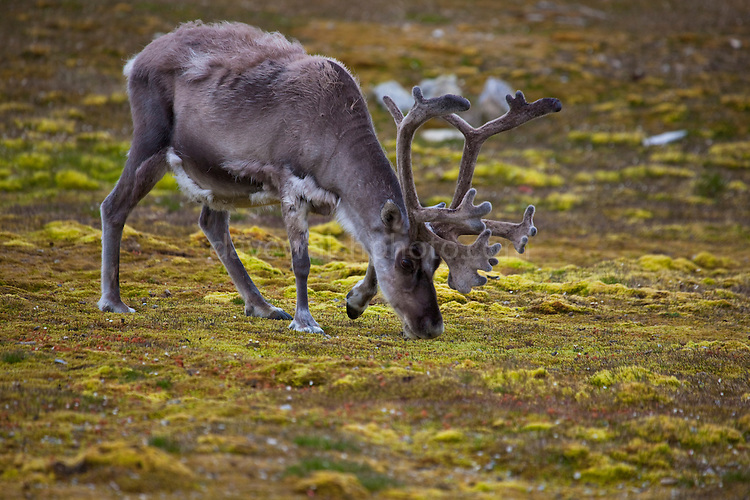 Svalbard Reindeer, Rangifer tarandus platyrhynchus in Ny-Alesund, Svalbard. There's about 10,000 Svalbard reindeer,  a small subspecies of mainland European reindeer, and are endemic to Svalbard. They are not domesticated, and are not owned by anyone.