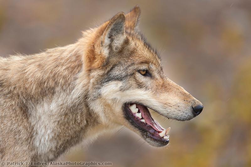 Gray wolf portrait, Denali National park, interior, Alaska.