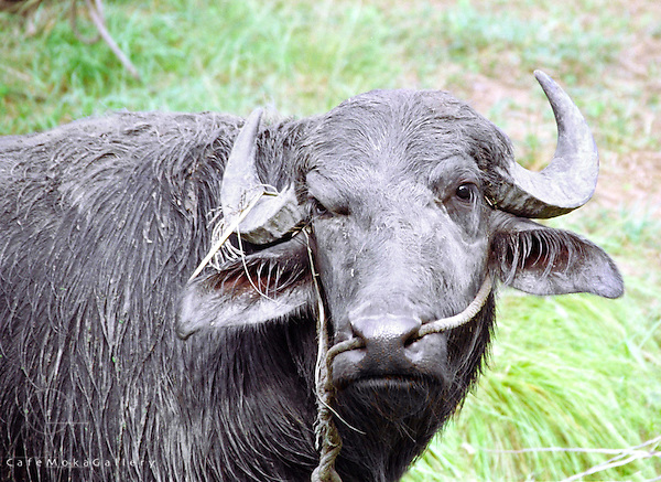 Farm Animal, Buffalypso a breed of water buffalo