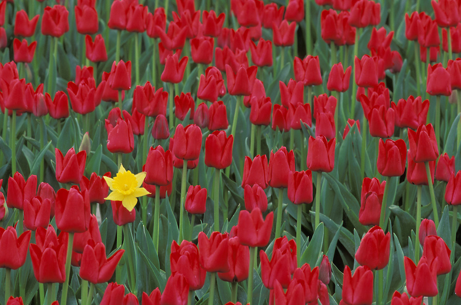 Single yellow daffodil in field of red tulips, Mount Vernon, Skagit Valley, Washington