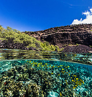 A snorkeler's view of yellow tang fish along the reef near the Captain Cook monument, Kealakekua Bay, Big Island.