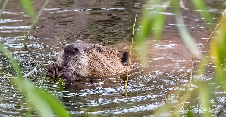 2017-09-11_Urban Wildlife_Beaver