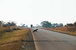 Spotted Hyena (Crocuta crocuta) crossing road, Kafue National Park, Zambia