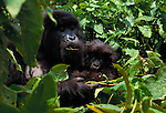 Mountain Gorilla and infant, Volcanoes National Park, Rwanda