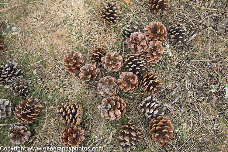 Looking down on pine cones on the ground