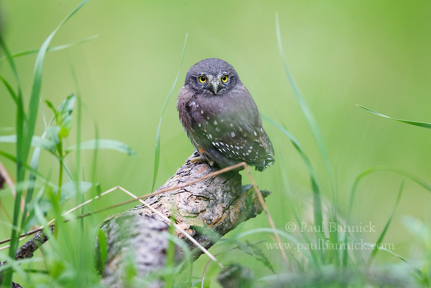 A Northern Pygmy-Owl (Glaucidium gnoma) fledgling perches on a Ponderosa Pine limb in a meadow in the Rocky Mountains of Colorado.