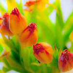 Brussels-Belgium - February 06, 2016 -- Tulips, suffering -- Photo: © HorstWagner.eu
