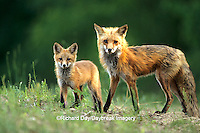 01871-012.11 Red fox (Vulpes vulpes) adult with kit    IL