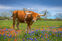A Longhorns in Wildflowers - This was the second longhorn which seem to be coming by to check us out or maybe he just wanted his close up too in these wonderful texas wildflowers. It seem this one wanted a little more one on one and luckly for he was in the texas wildflowers. This field had bluebonnets and indian paintbrush so it gave a little contrast in this field in the Texas Hill country outside of Johnson City. Its always a win win when you can get texas wildflowers and a longhorn to pose for you. It didn't take long before he move on to greener pasture as the other did or rather on the area futher away from us.