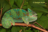 CH39-511z  Female Veiled Chameleon in display colors, Chamaeleo calyptratus