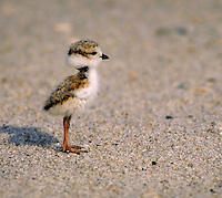 Piping Plover chick. Life cycle of birds. Shorebirds. New York, Long Island.