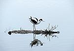 Avocet, Recurvirostra avosetta, Salt Pans, Ria Formosa East, Algarve, Portugal