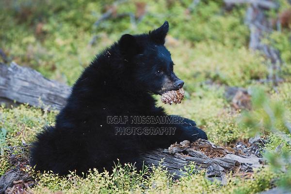 Black Bear (Ursus americanus), young eating pine cone, Yellowstone National Park, Wyoming, USA