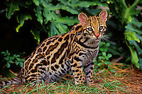 OCELOT. Southwestern USA & south.through much of South America..(Felis pardalis).