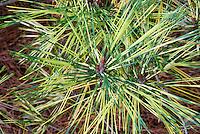 Pinus densiflora 'Oculus-draconis' variegated Japanese Red Pine tree